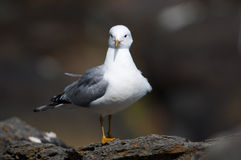 Free Common Gull Royalty Free Stock Photos - 15624108