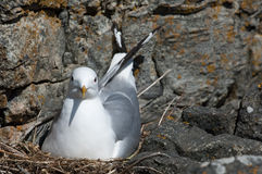 Common gull Royalty Free Stock Photo