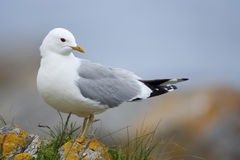 Free Common Gull Royalty Free Stock Images - 15624259