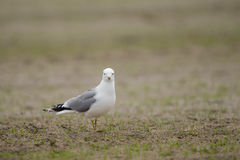 Common gull Royalty Free Stock Image