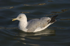 Common Gull Stock Photo