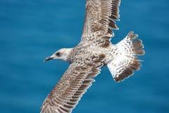 Free Common Gull Stock Image - 8916341