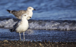 Common Gull in the Beach Stock Image