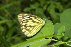 Common Gull Butterfly near Pune, Maharashtra, India.  stock image