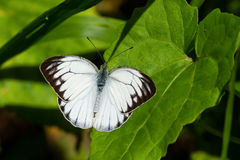 Common Gull butterfly. Open wings on leaf Royalty Free Stock Image