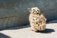 Common gull chick Stock Photos