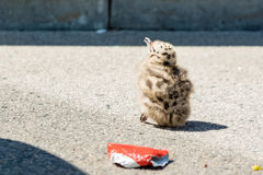Common gull chick Royalty Free Stock Photo