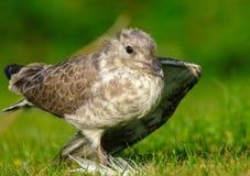 Common Gull chick & x28;Larus canus& x29; stock photography