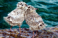 Common Gull chicks. In the water royalty free stock photo