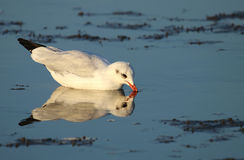 Common gull feeding in shallow water. Common gull feeding during low tide. Photo taken taken in Cuxhaven in north Germany. This area is part of the National Park Royalty Free Stock Photos