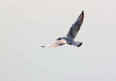 Common Gull Stock Image