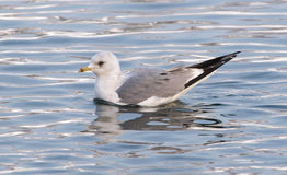 Common Gull, Larus canus Royalty Free Stock Images