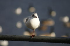 Common Gull - Larus canus Royalty Free Stock Image