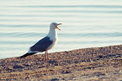 Common Gull (Larus canus) stock images