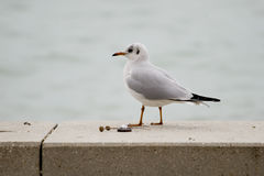 Common gull or Larus canus in Balaton Royalty Free Stock Images