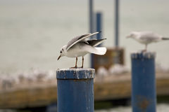 Common gull or Larus canus in Balaton Stock Images