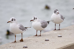 Common gull or Larus canus in Balaton Royalty Free Stock Image