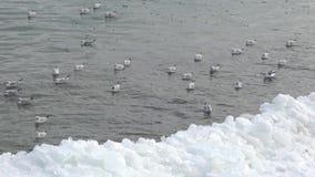 The common gull Larus canus stock footage