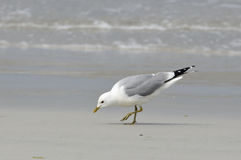 Common Gull Royalty Free Stock Photo
