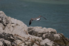 Common gull or Larus canus fighting with wind Royalty Free Stock Photo