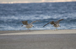 Common gull or Larus canus fighting wit wind Royalty Free Stock Image