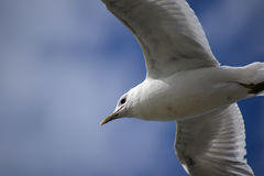 Common gull larus canus in flight against a blue sky, close up Royalty Free Stock Photo