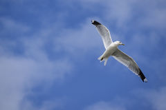 Common gull larus canus in flight against a blue sky with whit Stock Photos
