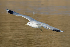 Common Gull (Larus canus) Royalty Free Stock Images