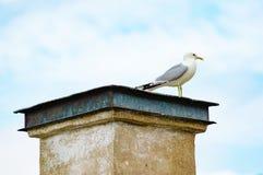 Common gull (Larus canus) Royalty Free Stock Image