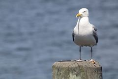 Common Gull Larus Canus. High speed photo of a Common Gull Larus Canus Royalty Free Stock Images