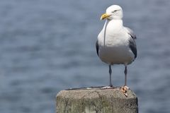Common Gull Larus Canus. High speed photo of a Common Gull Larus Canus Stock Photography