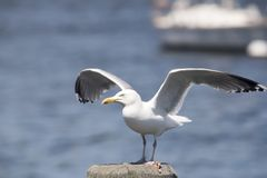 Common Gull Larus Canus. High speed photo of a Common Gull Larus Canus Royalty Free Stock Photos