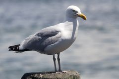 Common Gull Larus Canus. High speed photo of a Common Gull Larus Canus Royalty Free Stock Photography