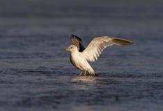 Common gull, Larus canus, Royalty Free Stock Photos