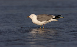 Common gull, Larus canus, Royalty Free Stock Images