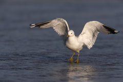 Common gull, Larus canus, Royalty Free Stock Photography