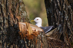 Common gull. (Larus canus) nesting in a tree fork behind a cut branch Stock Photos
