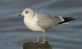 A Common Gull Larus canus perched on a wooden post at high tide in Kent, UK. A stunning Common Gull Larus canus perched on a wooden post at high tide in Kent Stock Photo