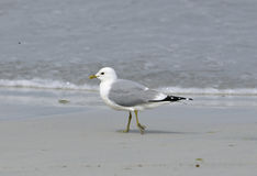 Common Gull Stock Image