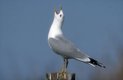 Common gull, Larus canus Stock Photo