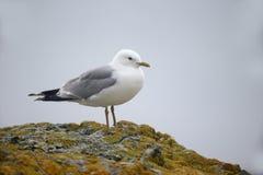 Common gull,  Larus canus Stock Image