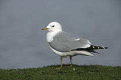 Common gull, Larus canus Royalty Free Stock Photos