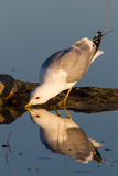 Common gull. (Larus canus) sipping water Stock Photography