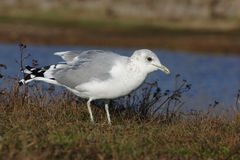 Common gull, Larus canus Stock Images
