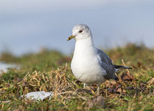 Common Gull Royalty Free Stock Images