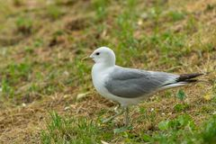 The common gull mew gull at the park royalty free stock images