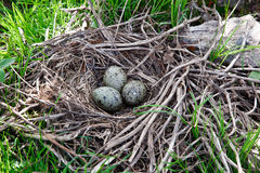 Common Gull, Mew Gull, Sea Mew, Larus canus. The nest of the Common Gull (Larus canus) in the wild Stock Photos