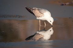 Common gull mew gull, Larus canus is on the ice. Common gull mew gull, Larus canusis on the ice Royalty Free Stock Photo