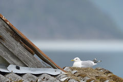 Common Gull nesting Stock Image