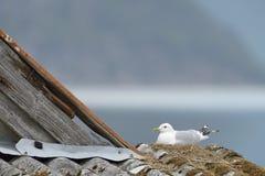 Common Gull nesting stock image